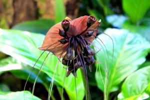 Orchidée noire de Bornéo