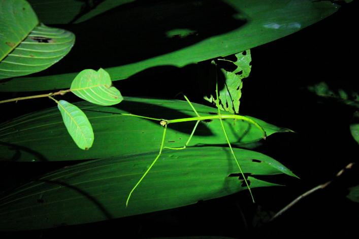 Phasme Vert Insecte